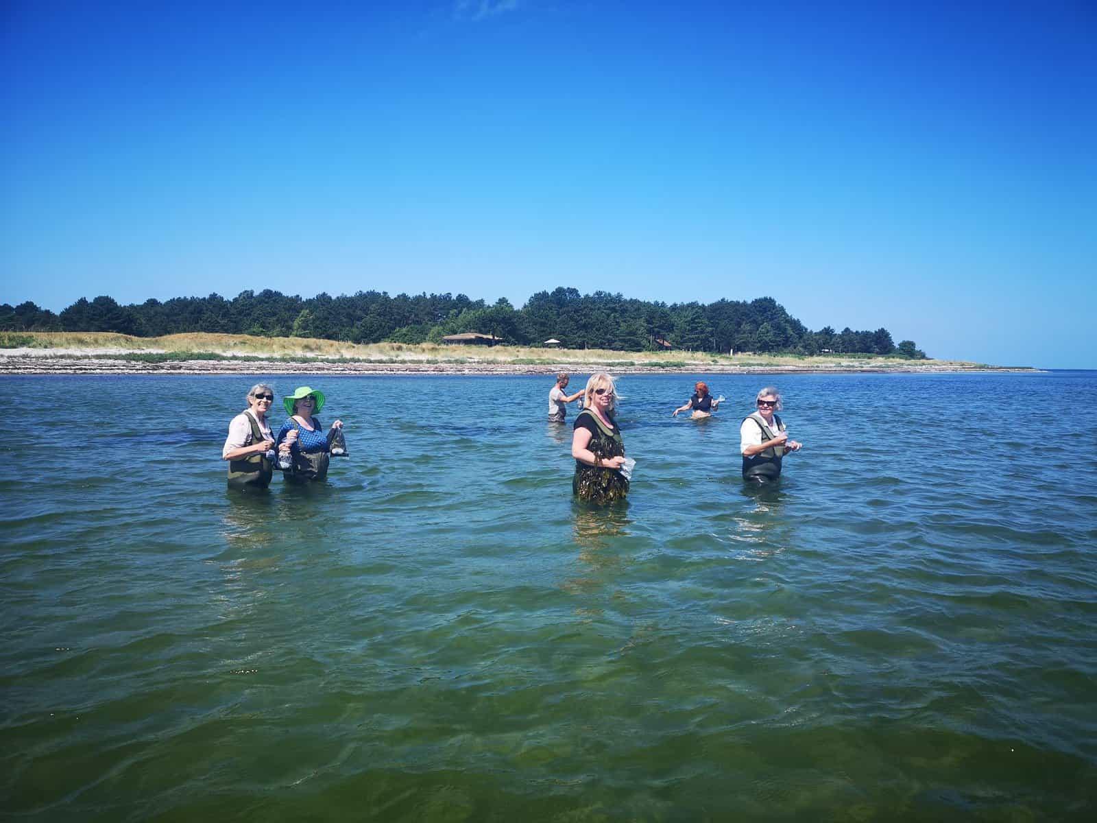 Vi er i vandet og høste tang