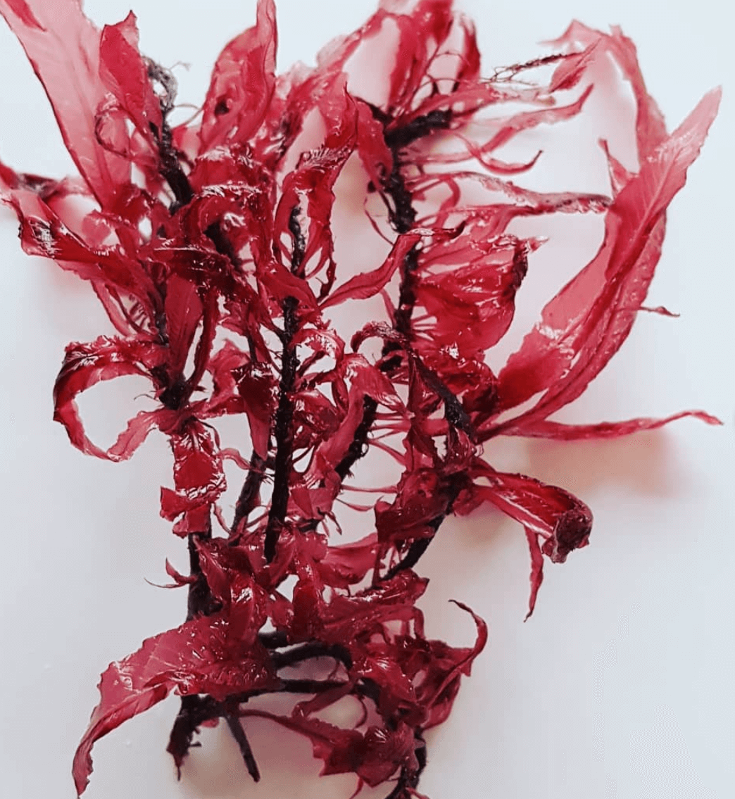 Vinter blodrød ribbeblad