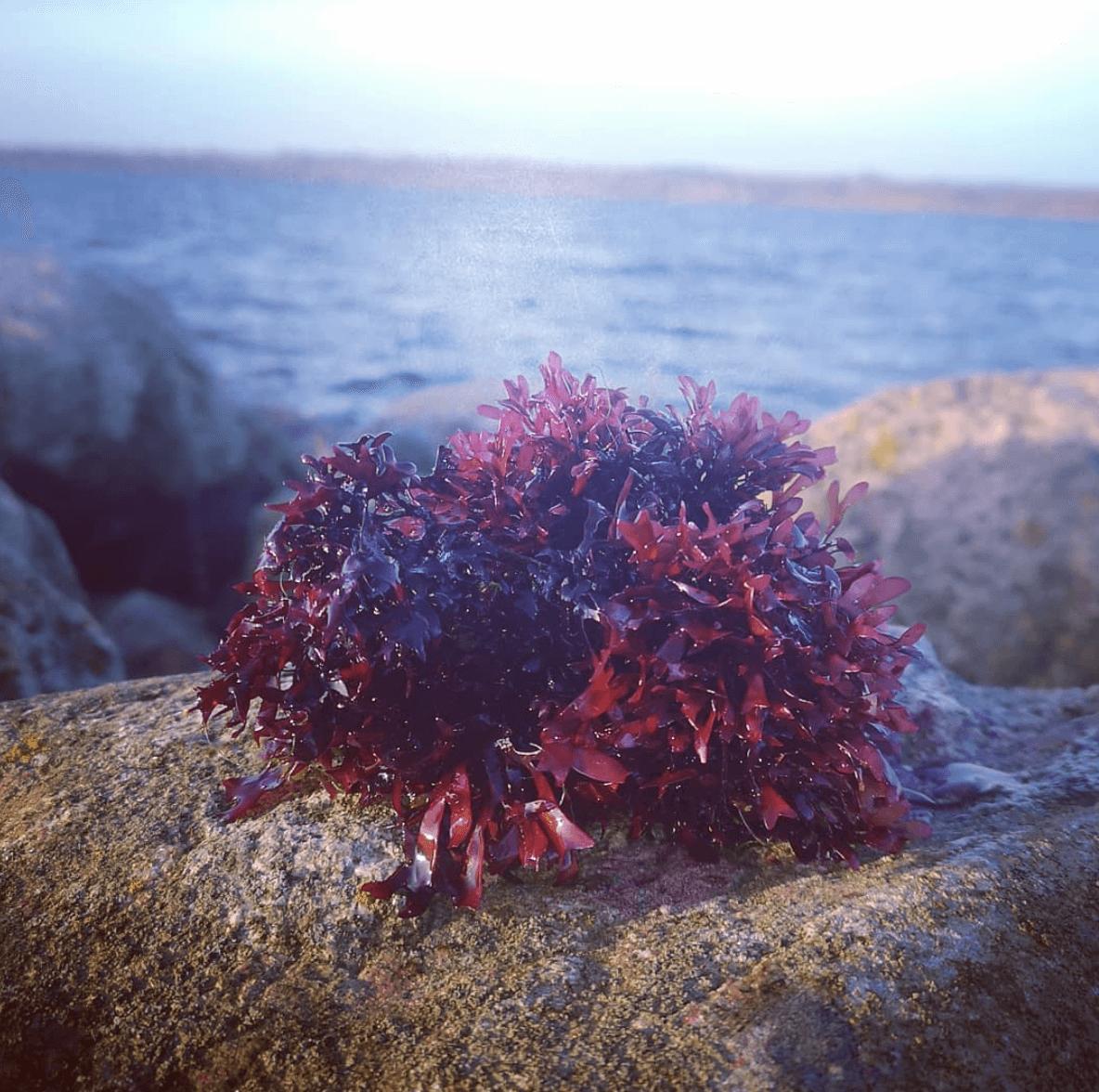 Blomkålstang eller Irish moss - hårdt bid og massere stivelse.
