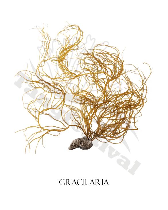 Plakat af gracilaria