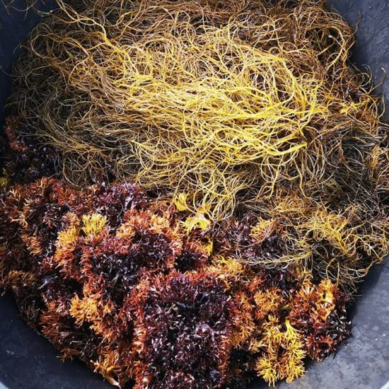 Gracilaria og Irish moss
