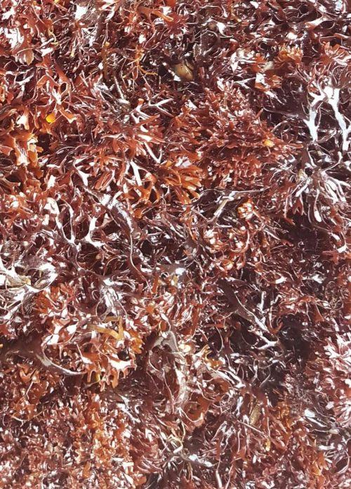 Frisk dansk irish moss
