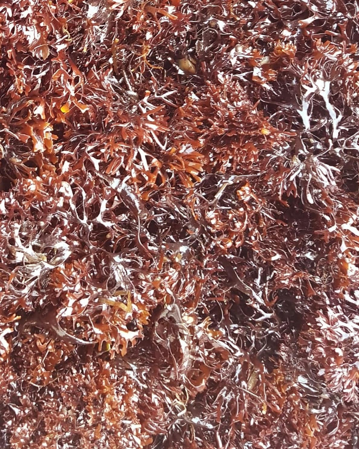 Image of   Frisk irish moss