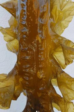 Frisk sukkertang