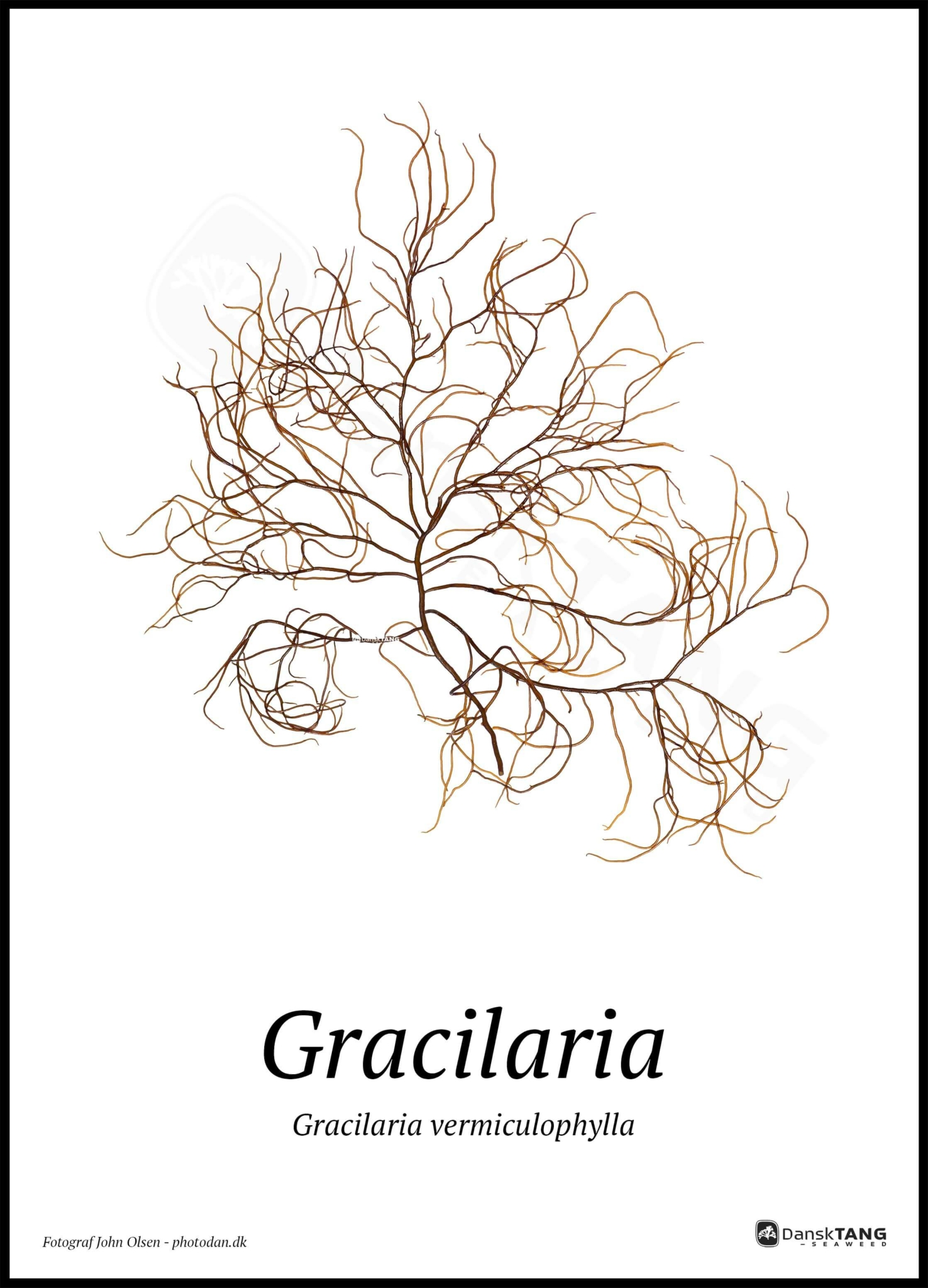 Image of Gracilaria plakat