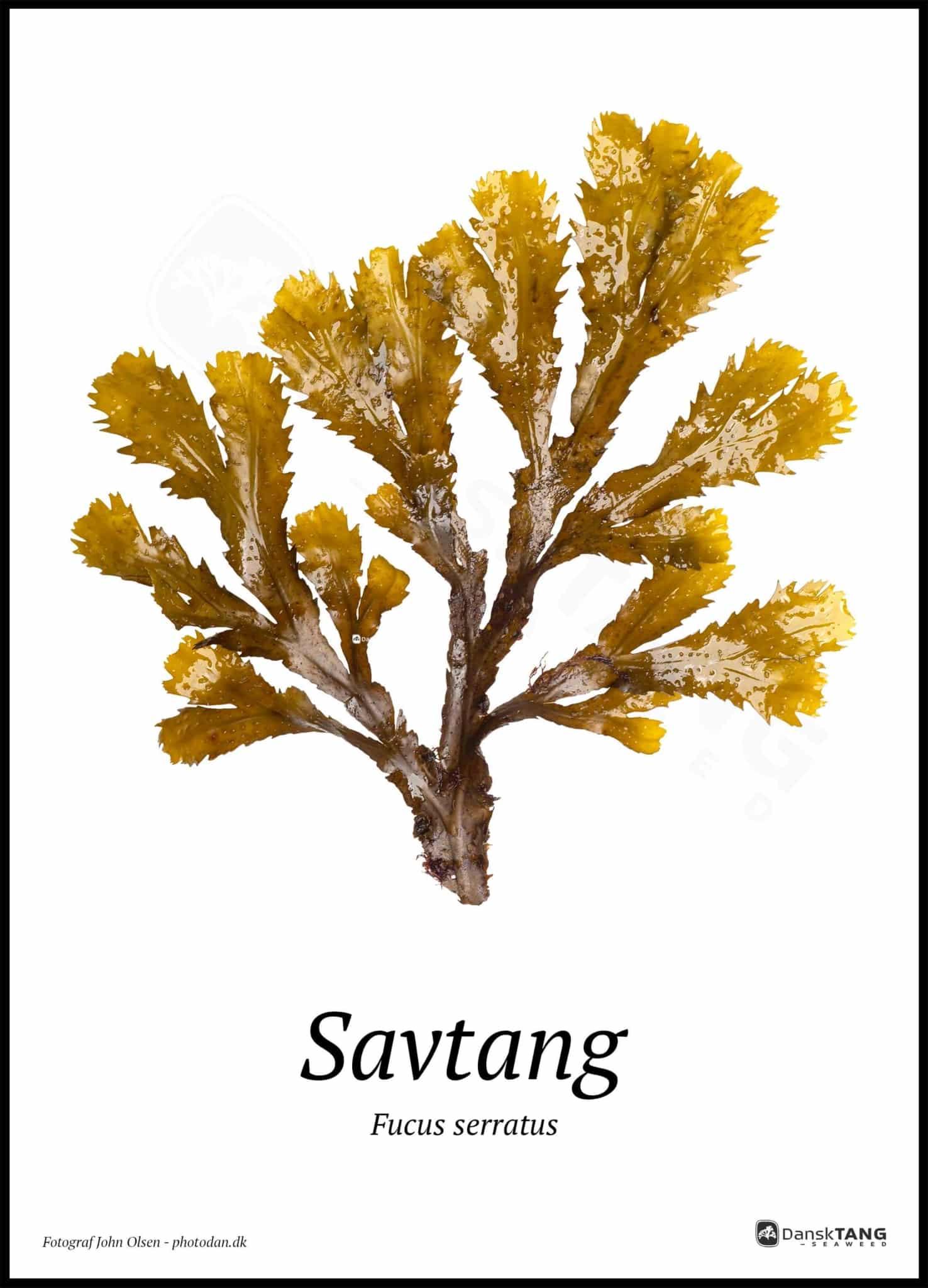 Image of   Savtang plakat